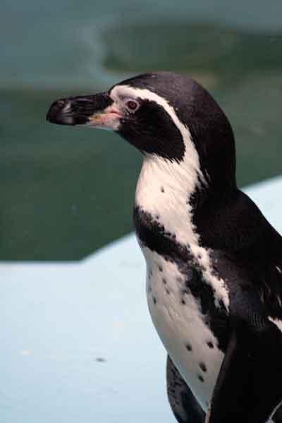 フンボルトペンギン2
