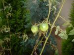 トマト。でもまだ緑色