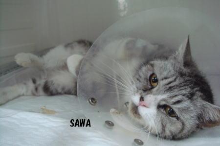 手術後のSAWAちゃん