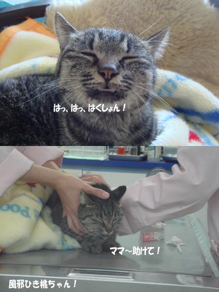 桃ちゃん、風邪ひきです!