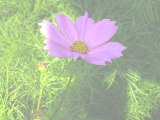 kosumosu8-20.jpg