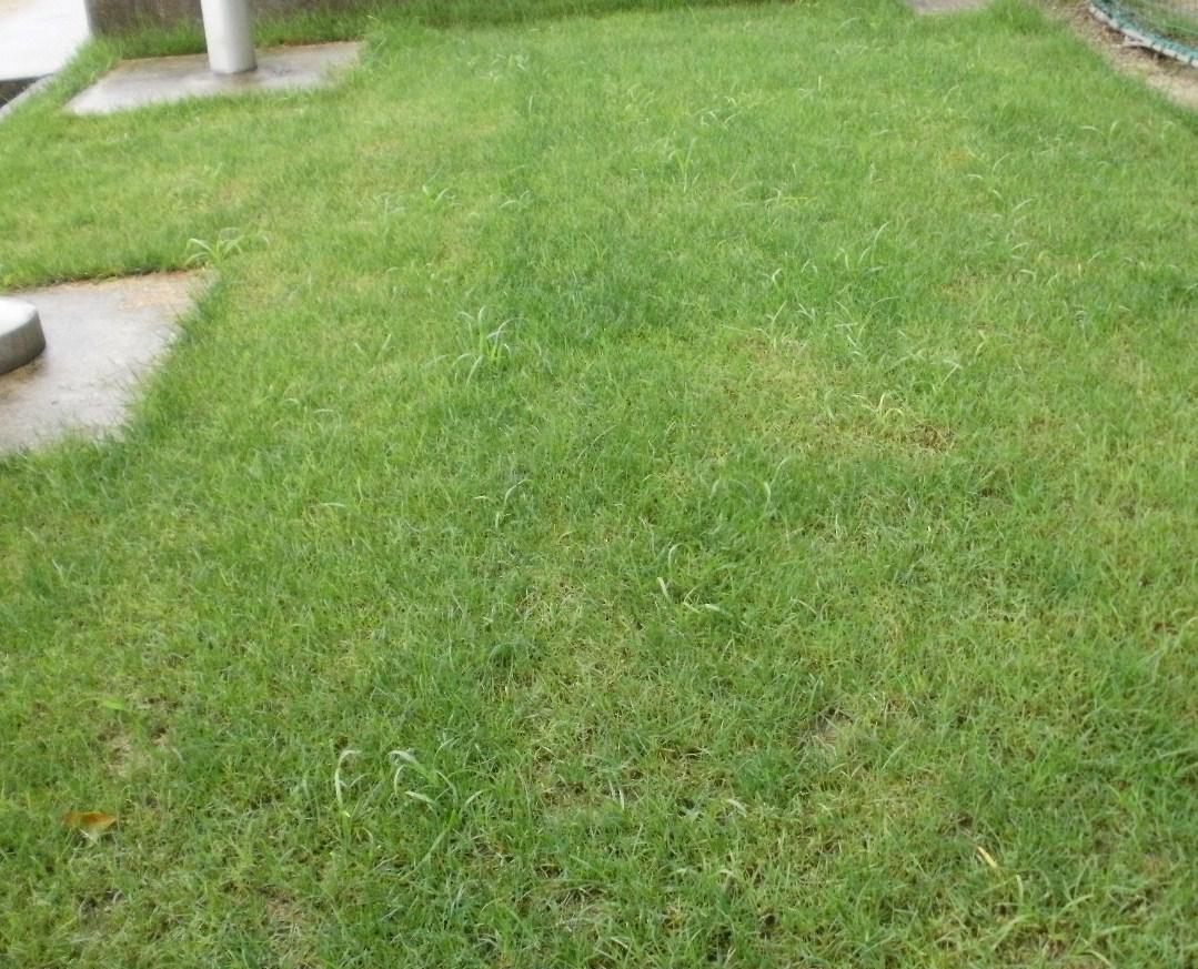 芝の間からピョロっと出ているのがヒメクグ