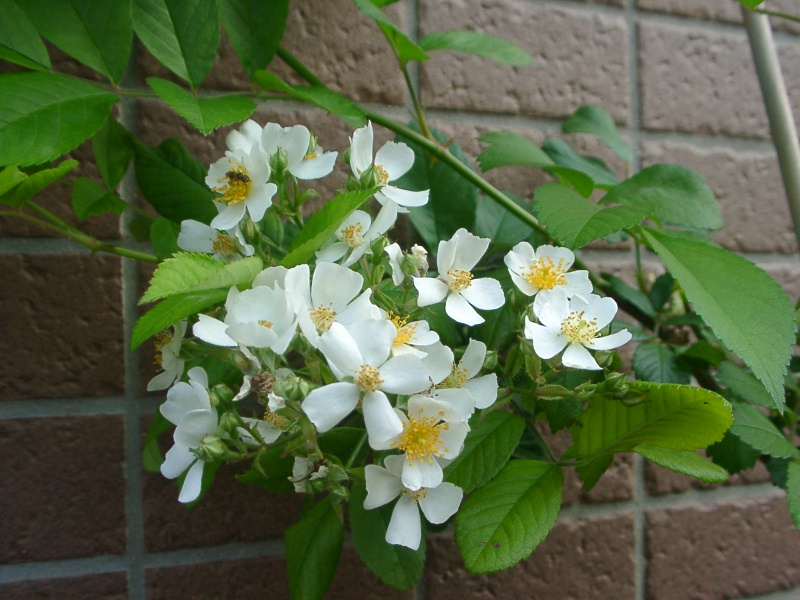 ノバラの花