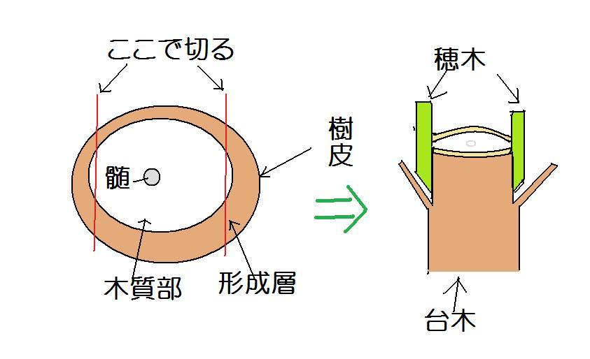 接ぎ木図解