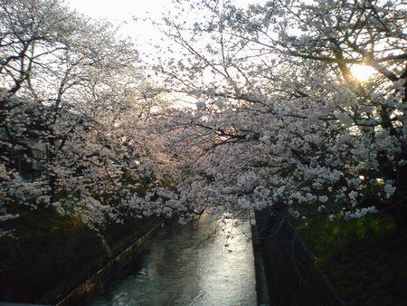 岸渡川の桜