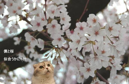 chai-sakura.jpg
