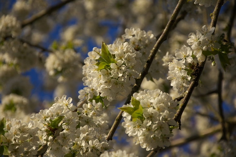 おそらく今シーズン最後の桜・・・ちょっと夕方1