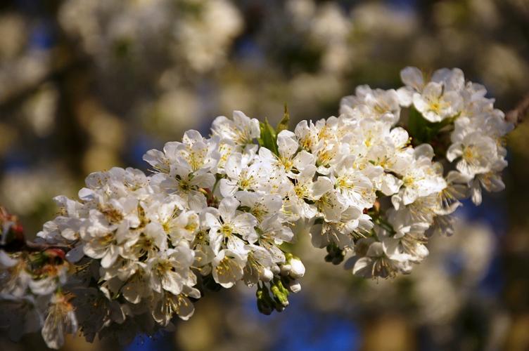 おそらく今シーズン最後の桜・・・ちょっと夕方2