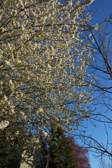 おそらく今シーズン最後の桜・・・ちょっと夕方3