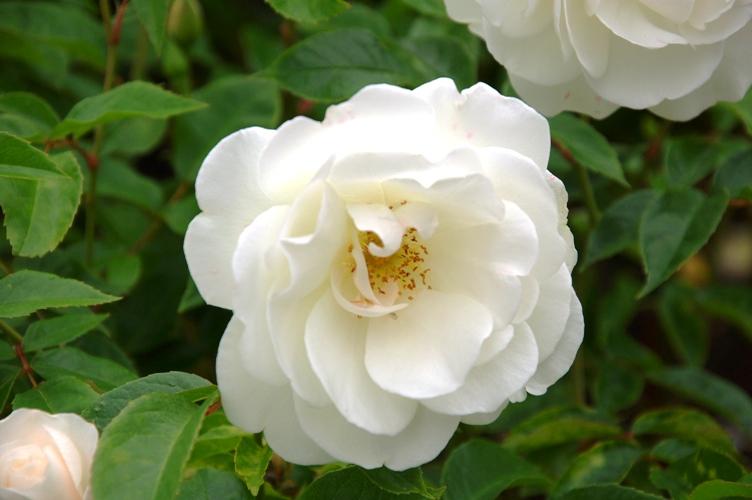 薔薇と栗鼠 2009 2