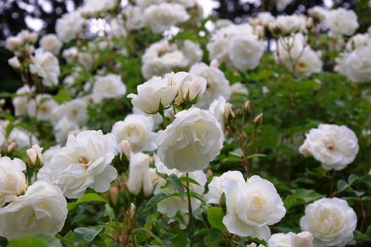 薔薇と栗鼠 2009 3