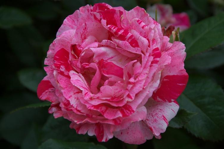 薔薇と栗鼠 2009 4