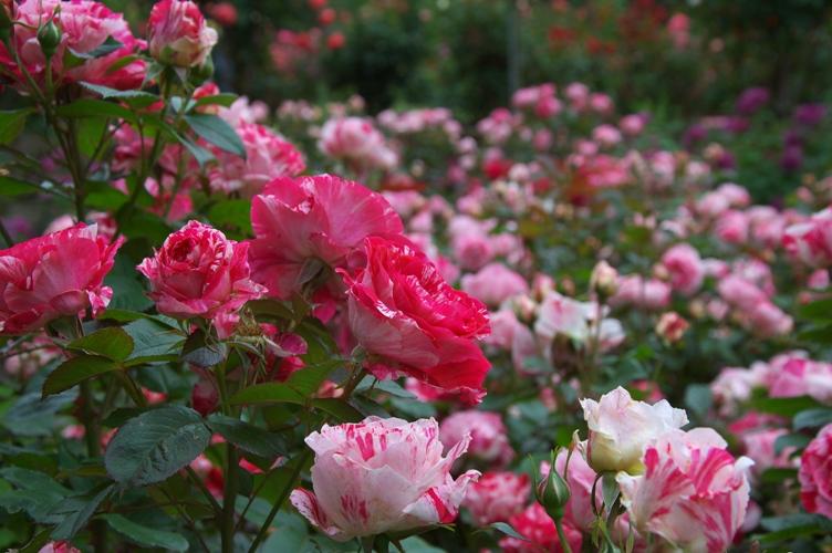薔薇と栗鼠 2009 5