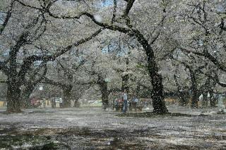 21・4桜吹雪