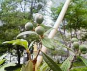 銀座びわの木