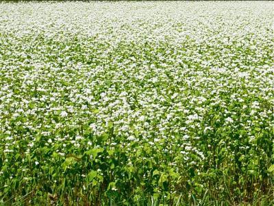 08-9-12 そばの花青き