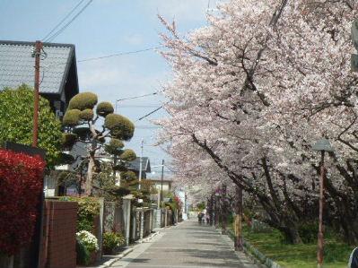 遊歩道の桜1