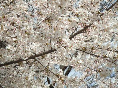 遊歩道の桜2
