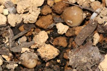 腐葉土からキノコ