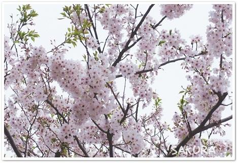 キレイな桜でしょ~