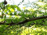 落葉松の新芽♪