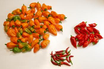 080819_peppers3.jpg