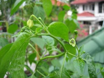 prik kee nok-flower-1