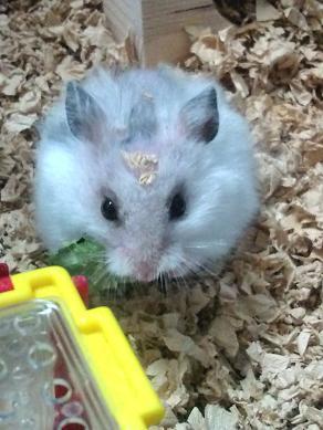 チカちゃん、桑の葉を食べる