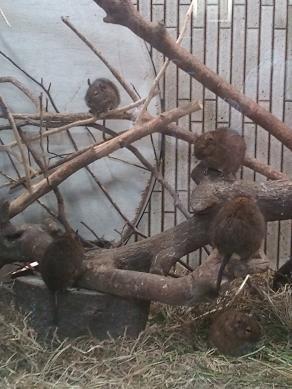 上野動物園のデグーたち