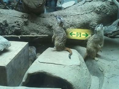 上野動物園のミーアキャット