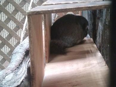 上野動物園のチンチラちゃん(その1)