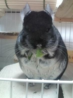パパイヤの葉を食べる加奈ちゃん