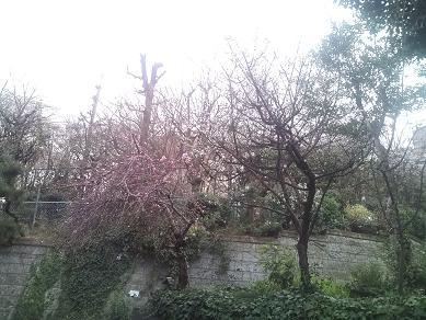 動物病院前の桜!?
