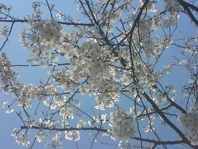 兜町近辺の桜