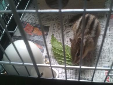 輝、桑の葉を食べる!?