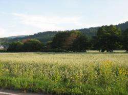 江丹別のそば畑