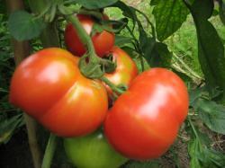 普通のトマトも赤くなってきました(^^)