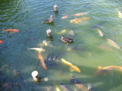 かもさんと鯉さんが仲良ししてるでしゅね。