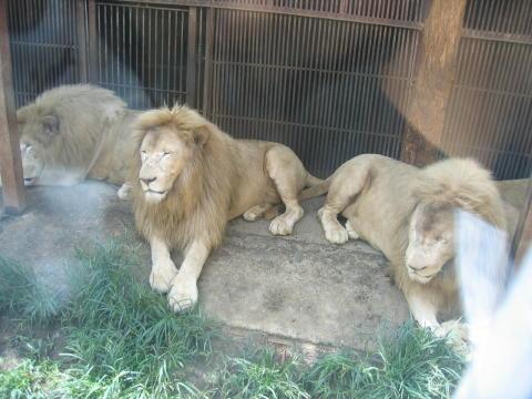 ライオンくんでーーーす。