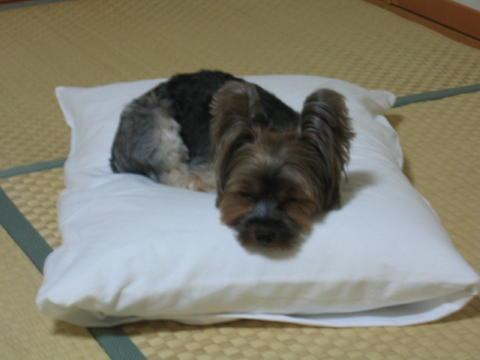 枕はかっぱちゃんじゃなくても好きでしゅ☆