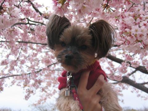 桜でしゅよ~。