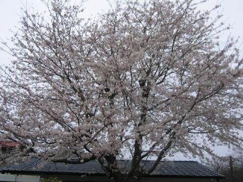 桜でしゅ~☆
