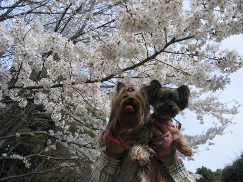 桜と一緒でしゅ。