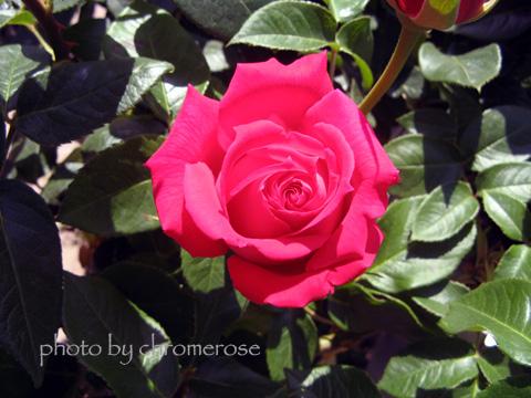 eden_rose01