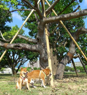 植え直された木