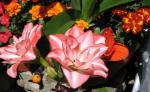 八重咲きのアマリリス