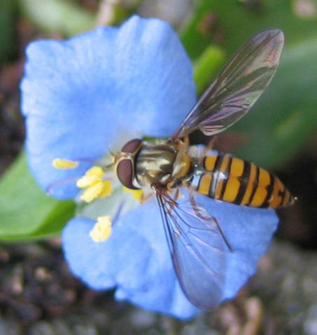 ムラサキツユクサとハチ