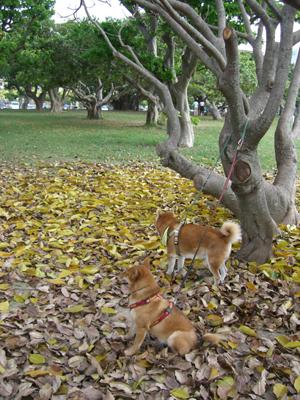 台風被害で葉を落とした樹木の下で健と紅