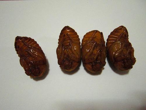 ヨルゲン♀蛹 (1)
