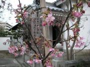 早咲きの河津桜